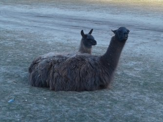 llamas laying about baby too 20210121_151301.jpg