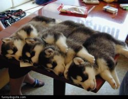 Pups_Sleeping_On_Small_Table.jpg