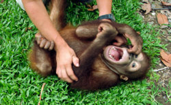 090604-apes-laugh-tickle-chimps-gorillas_big.jpg
