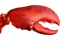 Lobster-Claw.jpg