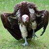 Big_Vulture