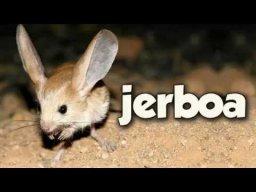 Gobi Jerboa